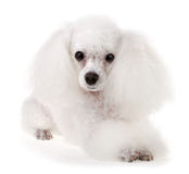 Poodle Dog Stock Photography