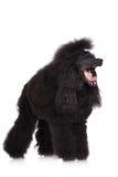 Poodle dog yawning Stock Photography