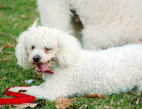 Poodle Dogs Stock Image
