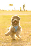 Poodle Doing Happy Dance royalty free stock images