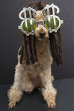 Poodle with Dreads and Dollar Sign Sunglasses Stock Photos