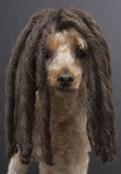 Poodle with Dreads Royalty Free Stock Images