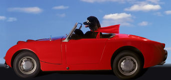Poodle Dream Ride royalty free stock image