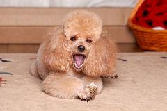 Poodle eat a dry bone Stock Images