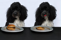 Poodle eats a hamburger Royalty Free Stock Images