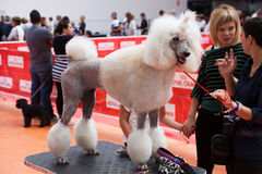 Poodle at  exhibition of Catalonia in Vic Royalty Free Stock Photography