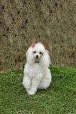 poodle för fransman 7 Royaltyfria Bilder