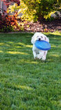 Poodle Fetch. A mini poodle mix playing fetch with her frisbee royalty free stock photos