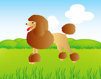 Poodle on field Royalty Free Stock Photography