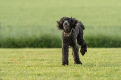 Poodle Funni τρέχει πέρα από ένα πράσινο λιβάδι το καλοκαίρι στοκ φωτογραφία