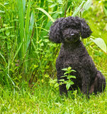 Poodle in the garden. Stock Photography