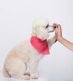 Poodle giving five to woman Royalty Free Stock Image