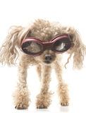 Poodle with Goggles. A poodle wearing protective athletic googles, isolated on a white background Stock Images