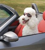 Poodle with goggles driving a sports car Royalty Free Stock Photography