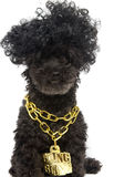 Poodle in Gold Bling Chain. A poodle in a gold bling bling necklace, on a white background royalty free stock images