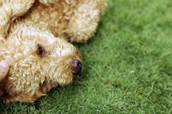 Poodle on grass. Cute little poodle laying on grass.Closeup on the head Royalty Free Stock Photography