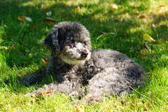 Poodle on grass Stock Photography