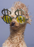 Poodle Greed Royalty Free Stock Photos