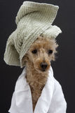 Poodle With A Green Towel Stock Images