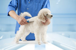 Poodle grooming Royalty Free Stock Photography