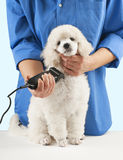 Poodle grooming Stock Image