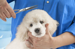 Poodle grooming Stock Images