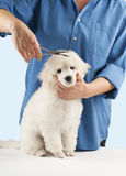 Poodle grooming Royalty Free Stock Photo