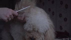 Poodle grooming at the salon for dogs stock video footage