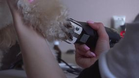 Poodle grooming at the salon for dogs stock footage