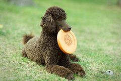Poodle on the ground Stock Images