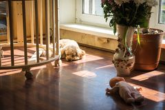 The poodle guards the baby`s sleep. Dog. The poodle guards the baby`s sleep stock images