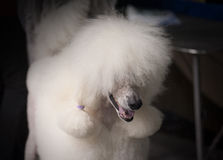 Poodle at a hairdressing saloon Stock Photos