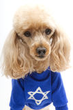 Poodle in Hanukkah Shirt. A poodle, isolated on a white background, wearing a blue Hanukkah sweater Stock Photography