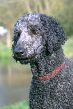 Poodle head after a swim Royalty Free Stock Photo