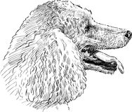 Poodle head Royalty Free Stock Images