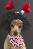 Poodle with Hearts on Her Head Royalty Free Stock Photo