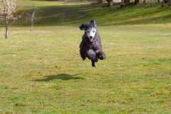 Poodle Jumping Stock Image