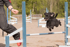 Poodle jumps over an agility hurdle Stock Photography