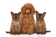 Poodle with kittens on a white background Stock Image