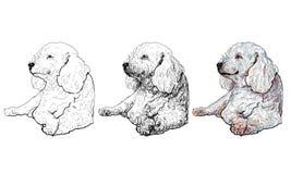 Poodle vector illustration