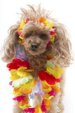 Poodle in Leis Royalty Free Stock Photography