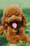 Poodle   look at you. Poodle dog lie on grassground Stock Image
