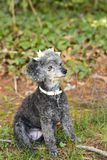 Poodle looks away sitting in grass Royalty Free Stock Photo