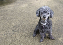 Poodle looks at camera sitting on concrete Royalty Free Stock Photography