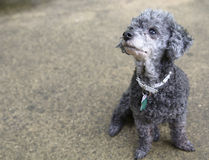 Poodle looks up sitting on concrete Stock Photos