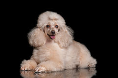 Poodle lying on a black background. Apricot-colored poodle lying on glass on a black background Stock Images