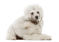 Poodle lying. In front of a white background Stock Image