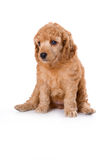 Poodle Medium puppy. Sitting on white background Royalty Free Stock Image