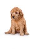 Poodle Medium puppy. Sitting on white background royalty free stock image