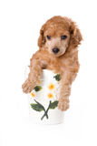 Poodle Medium puppy. In cup on white background stock photos